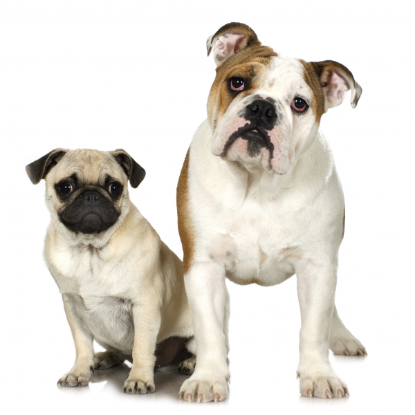 fawn pug and bulldog